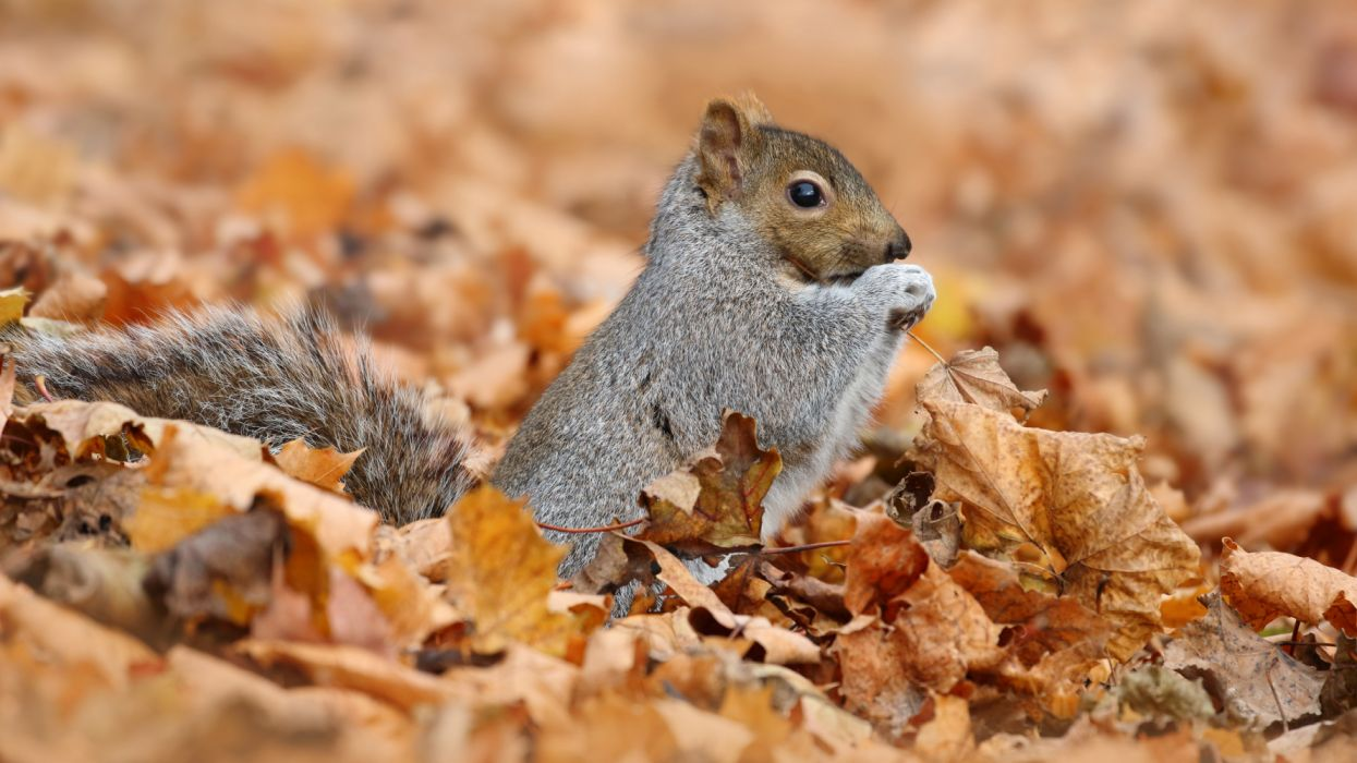 Fall Leaf Rodent Squirrel Wildlife wallpaper
