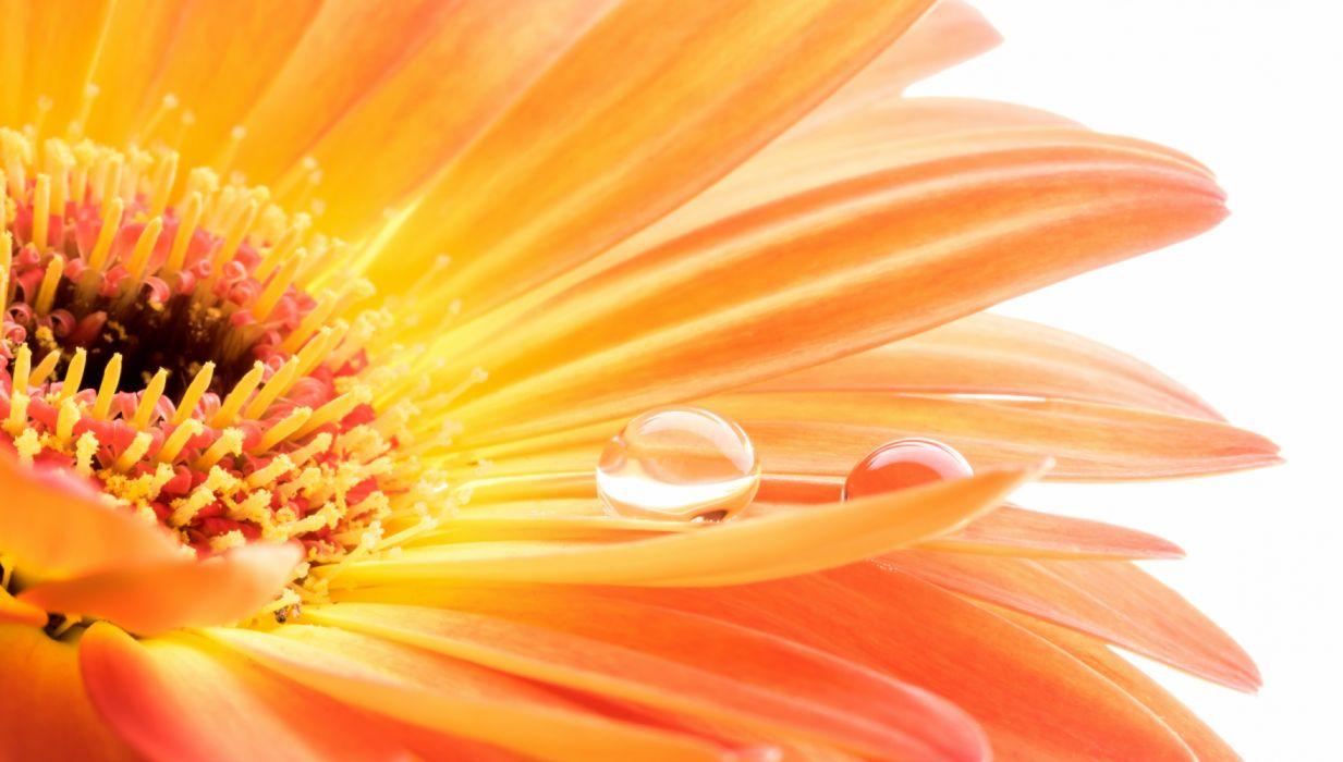 Flower Gerbera Macro Nature Water Drop wallpaper