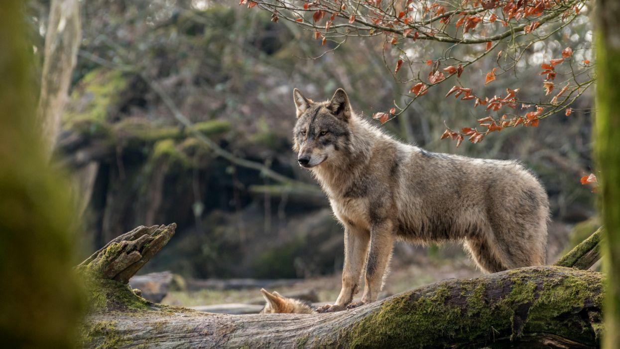 Depth Of Field Wildlife Wolf predator wallpaper