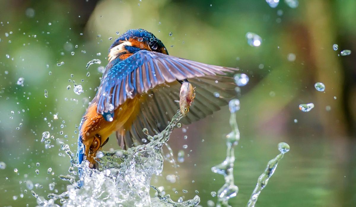 Bird Kingfisher Water Wildlife wallpaper