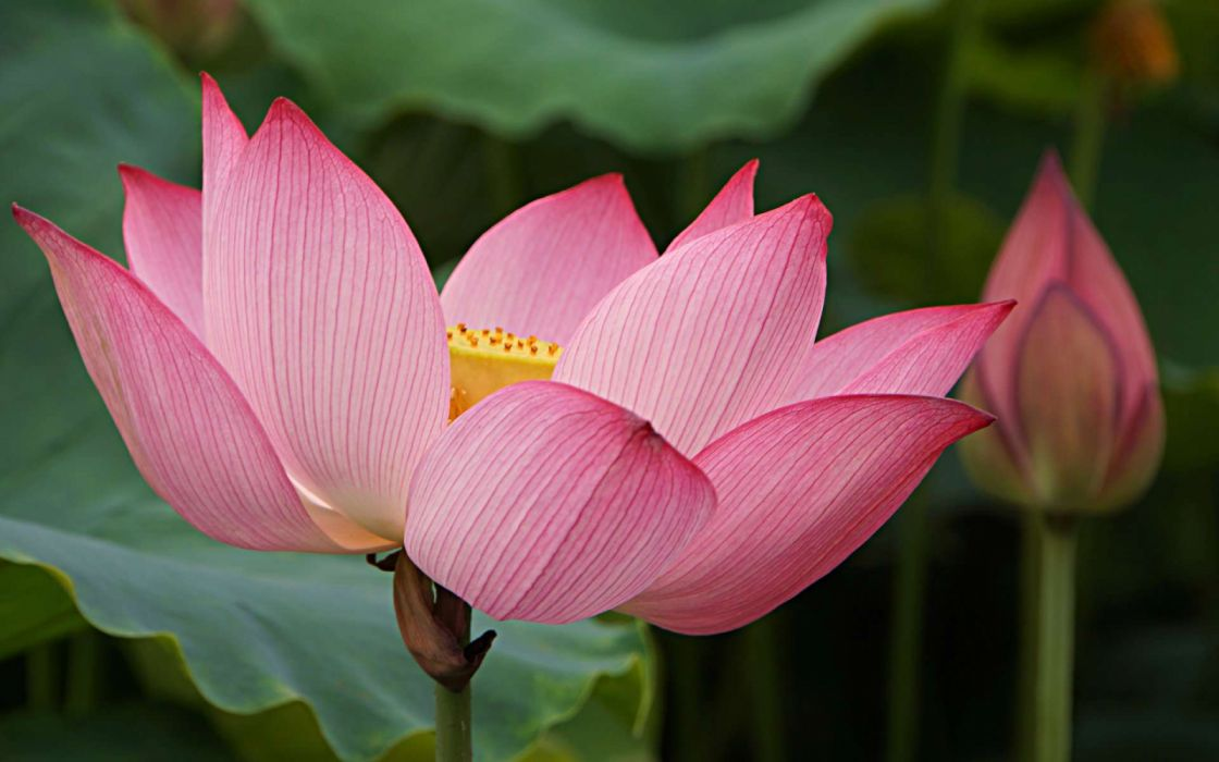Flower Lotus Pink Flower Wallpaper 1920x1200 1206577