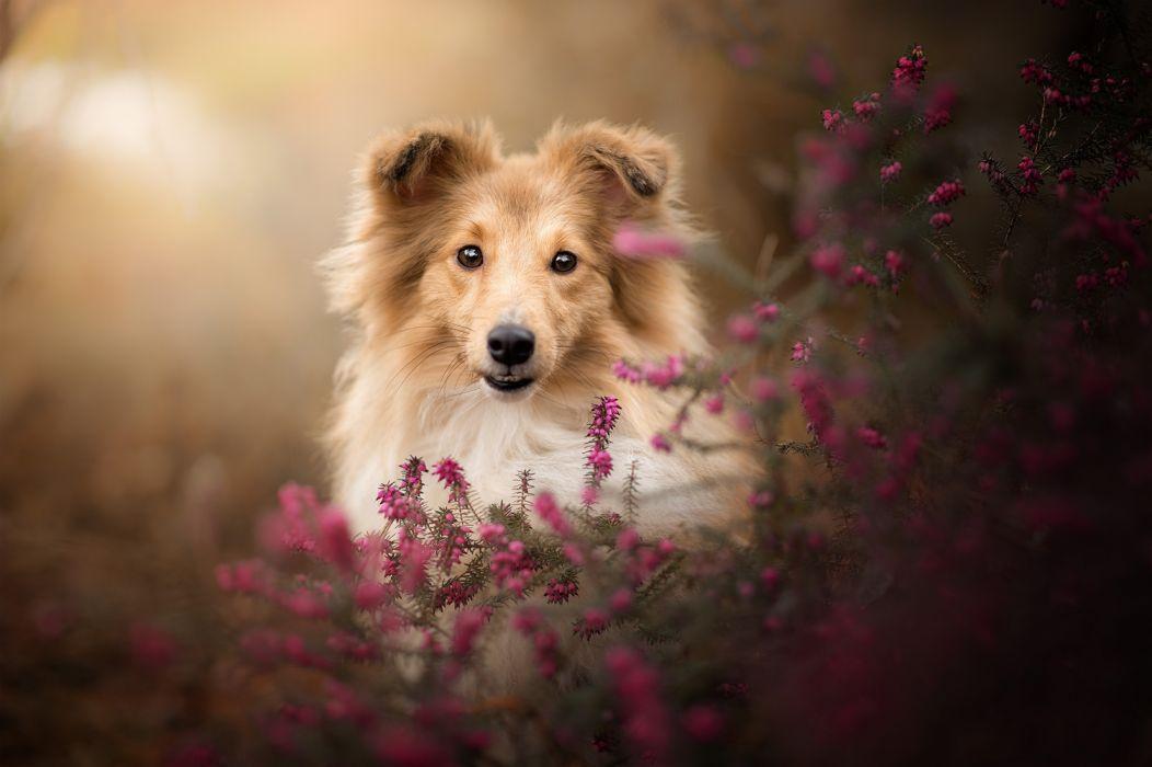 Baby Animal Dog Pet Puppy Shetland Sheepdog wallpaper