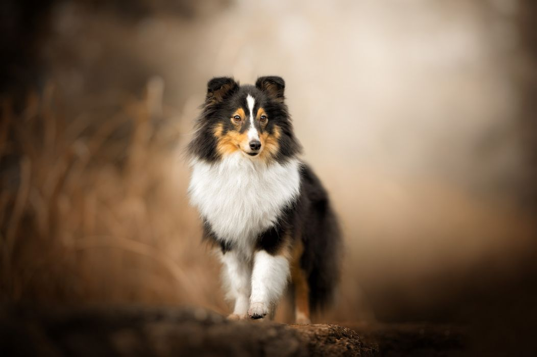 Baby Animal Dog Pet Puppy Shetland Sheepdog hg wallpaper