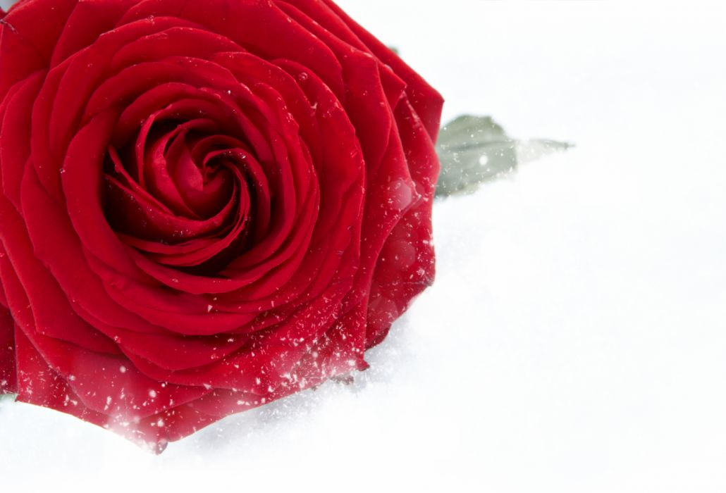 Roses Closeup White background Red Snow Flowers wallpaper