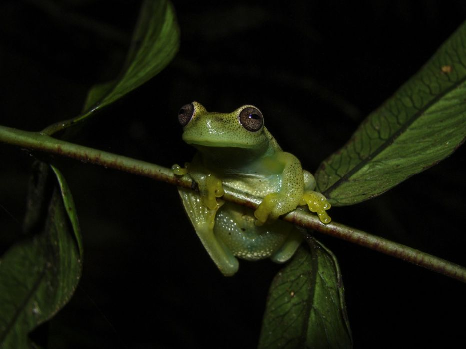 Frog Specie Hyloscirtus Japreria wallpaper