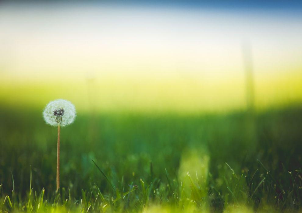 bloom blur dandelion grass wallpaper