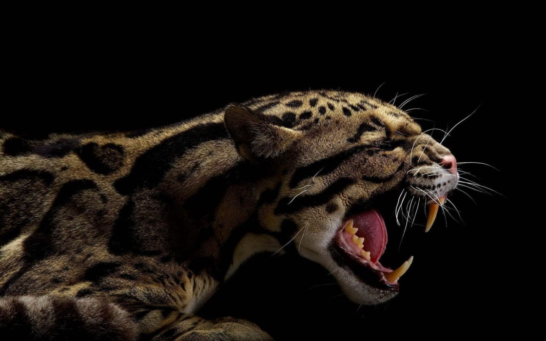 animals teeth black background clouded leopards 1920x1200 wallpaper