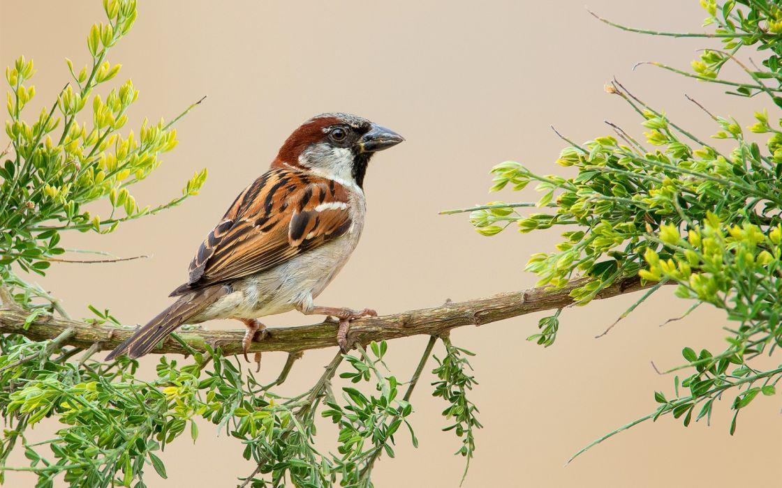 Sparrow flowers feathers twigs animal bird wallpaper