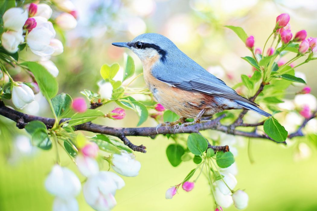 spring bird bird spring blue nature branch colorful Free photos Free Images royalty free wallpaper