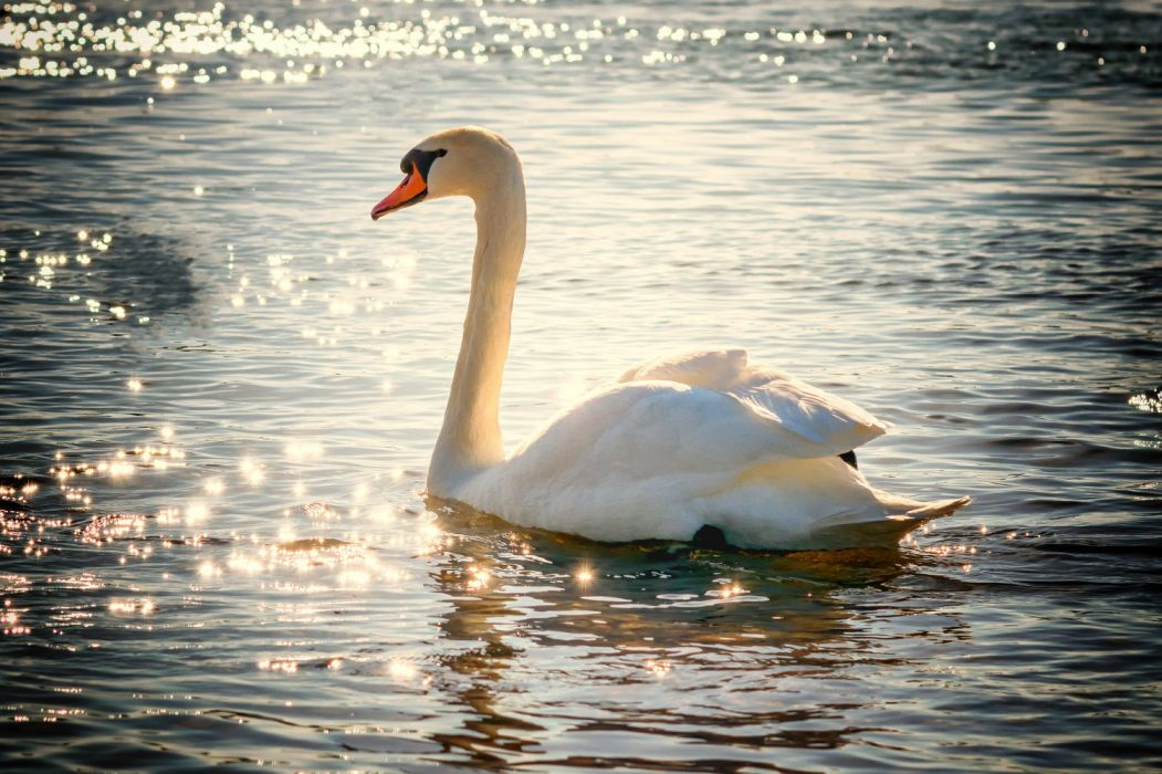 swan water bird lake white feather nature waterfowl mirroring backlighting swim waters animal poultry pride long jibe supreme sparkle wallpaper