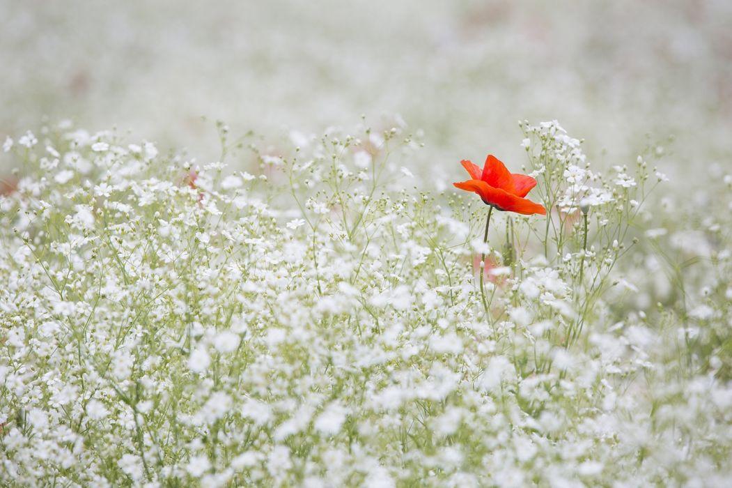 poppy gypsophila elegans red color white garden red flower wallpaper