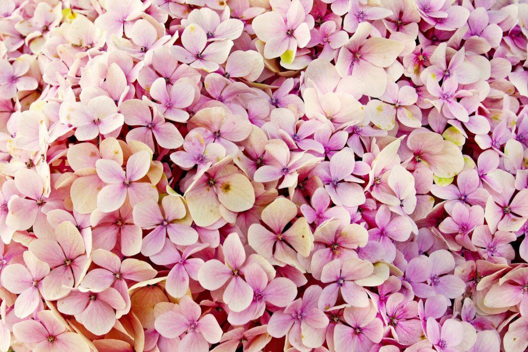 hydrangea flowers flower nature beautiful flora background summer hydrangea flower bright bloom garden pink texture romantic pattern tender wallpaper