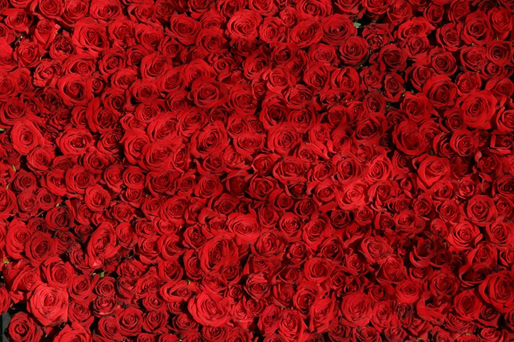 rose roses flowers red valentine wallpaper