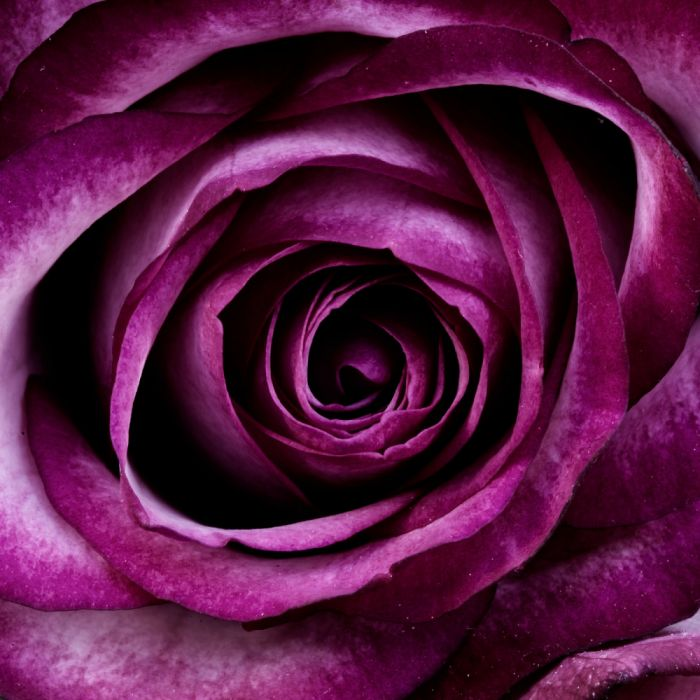 plant rose flower petals nature blossom bloom purple wallpaper