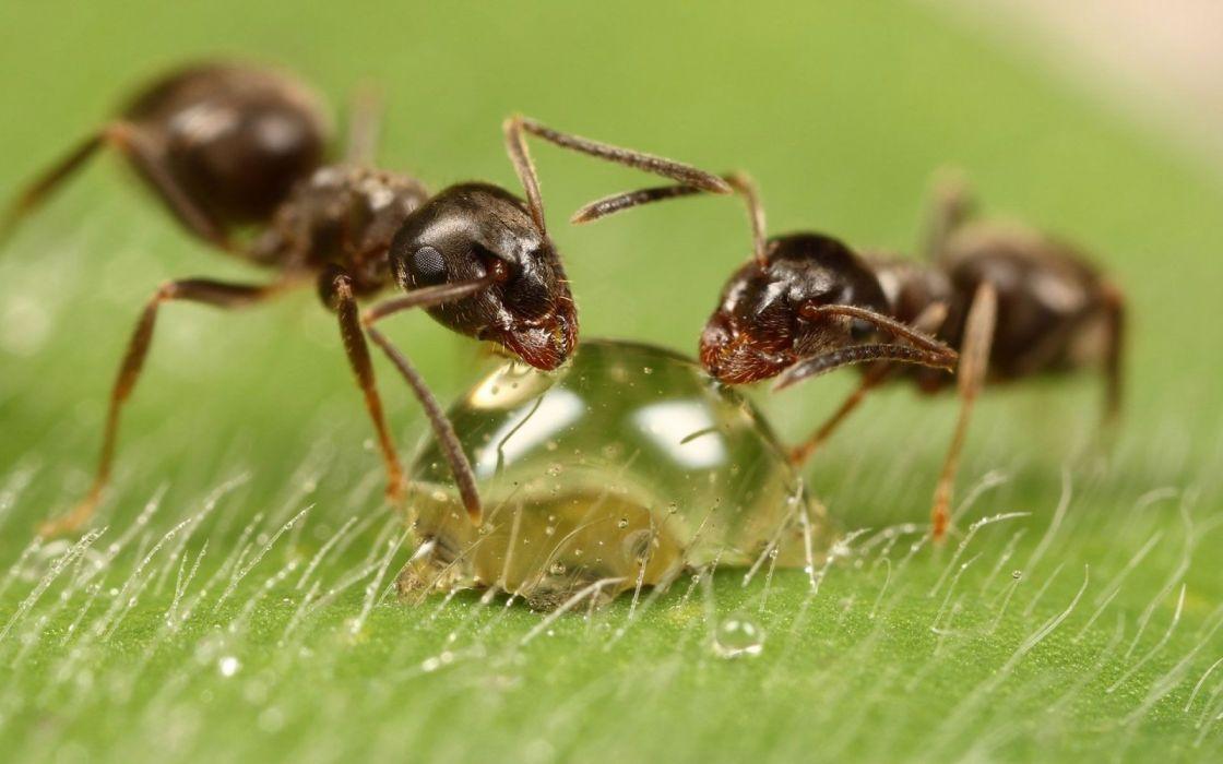 hormigas gota agua macro insecto animales wallpaper