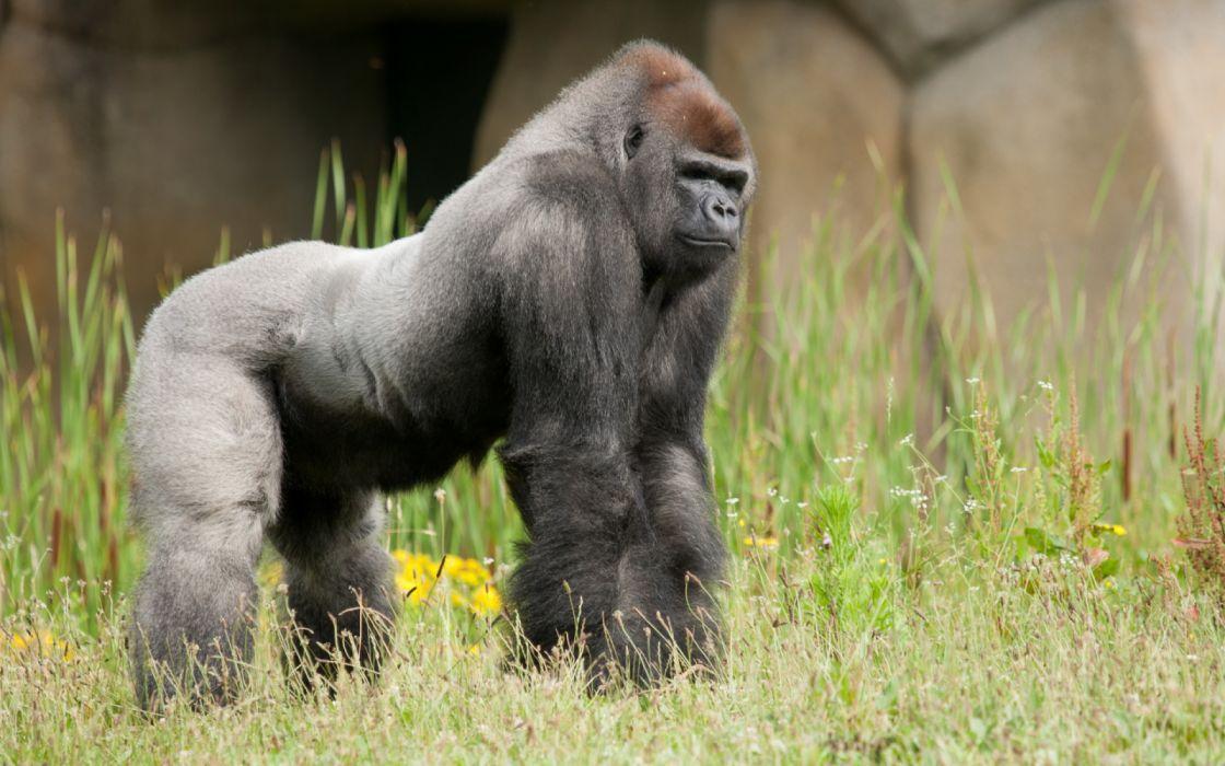 animales gorila simio wallpaper