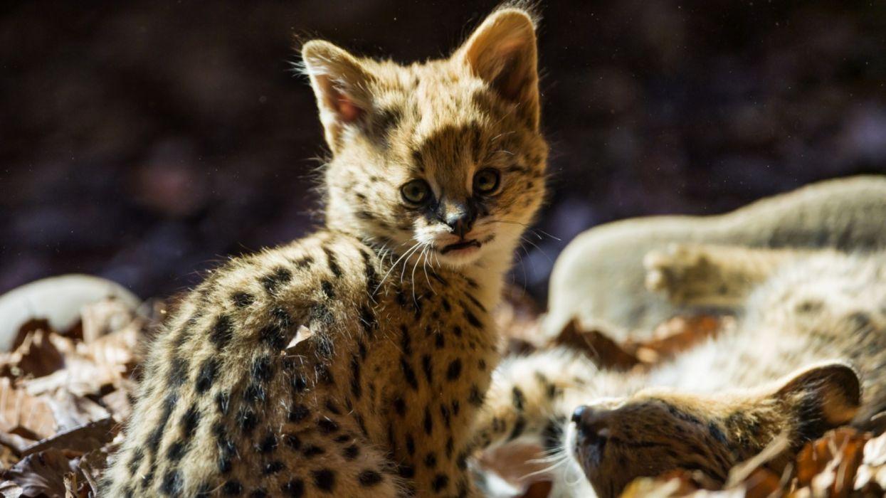 baby animales cachorro jaguar wallpaper