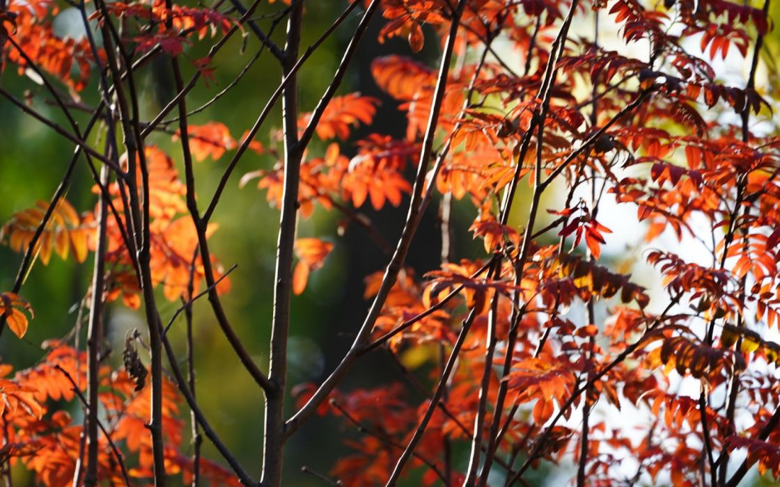 Red leaves trees twigs autumn nature wallpaper