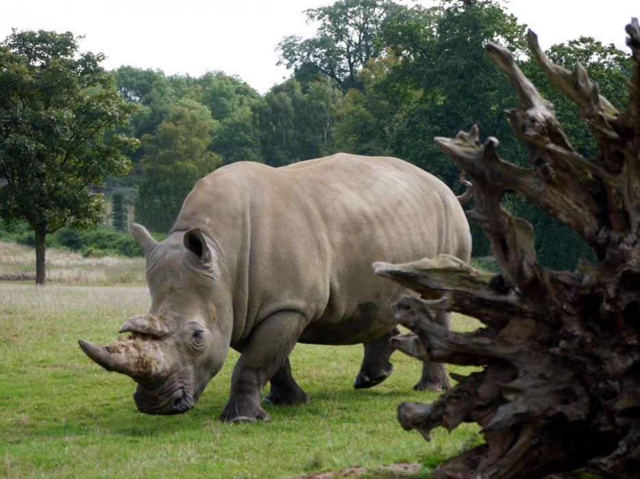 white rhino animals wallpaper