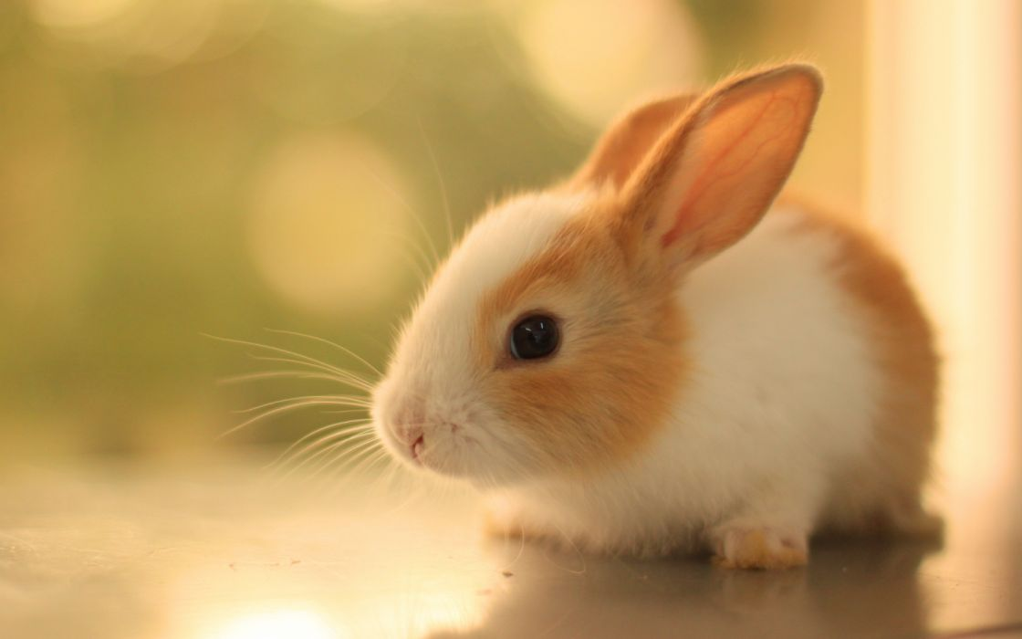 Bunnies rabbits baby animals wallpaper