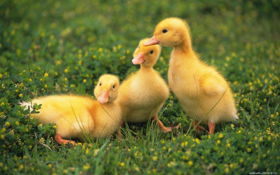 nature ducks duckling baby birds birds wallpaper