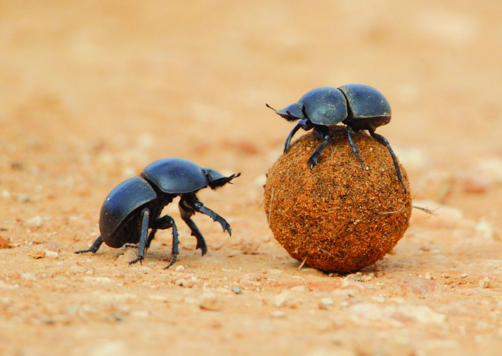 dung beetle insects animals wallpaper