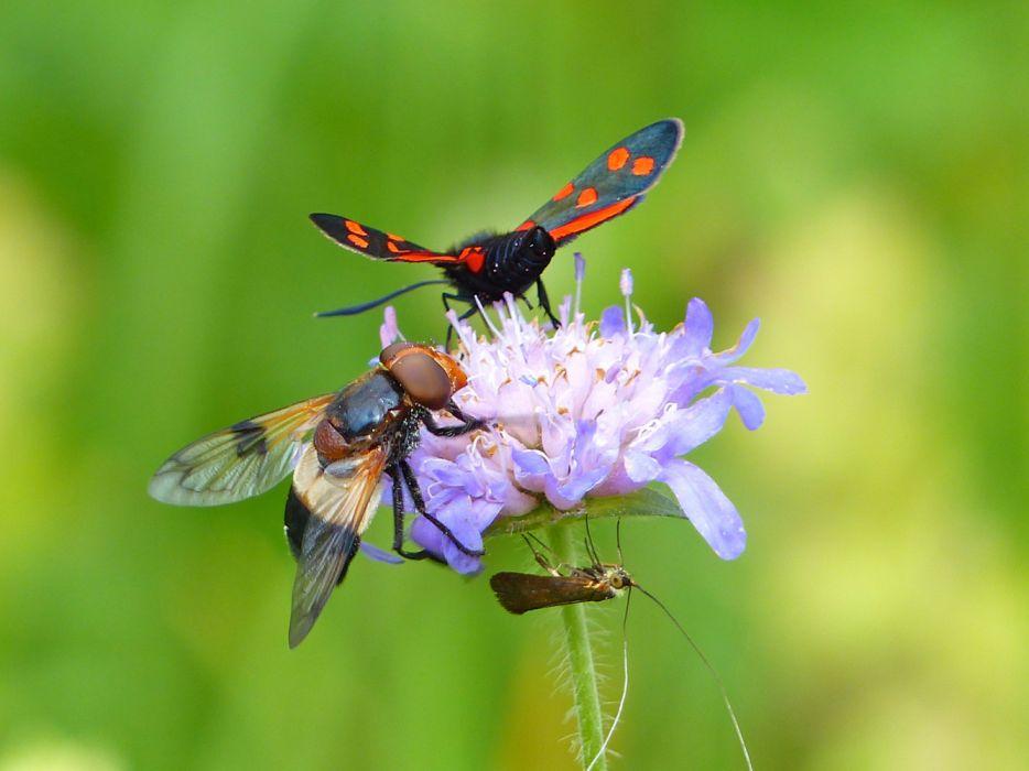 animales insectos mariposa moscarda wallpaper