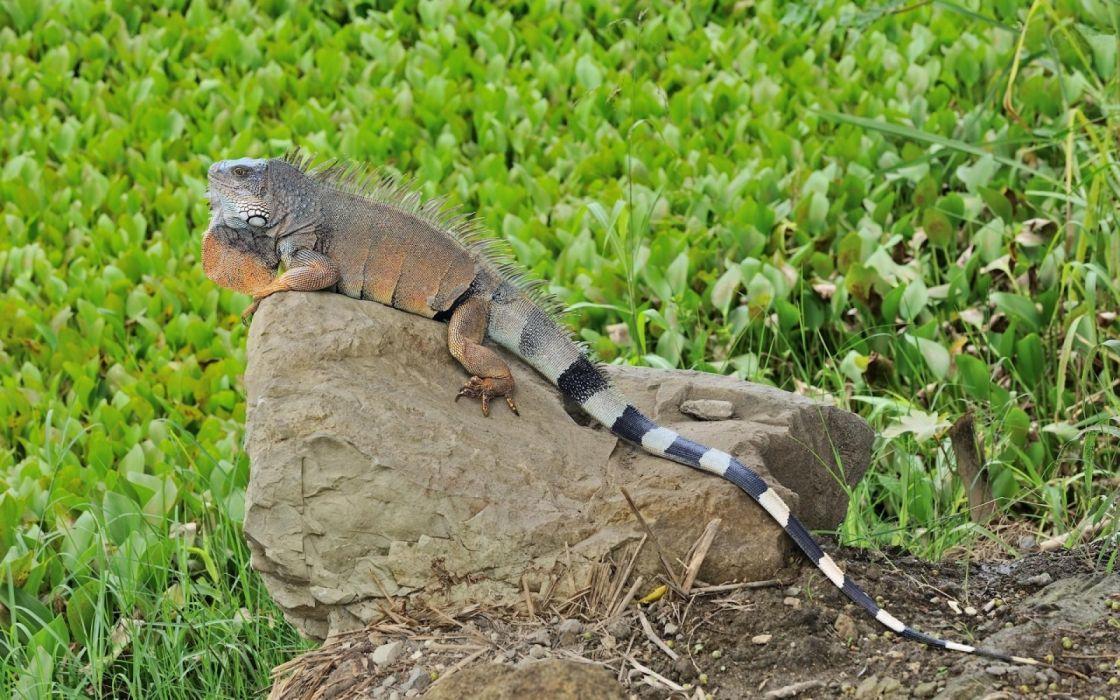 lizard large stones reptiles animales wallpaper