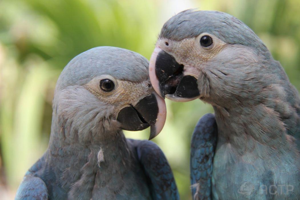 Blue Bird Brazil wallpaper