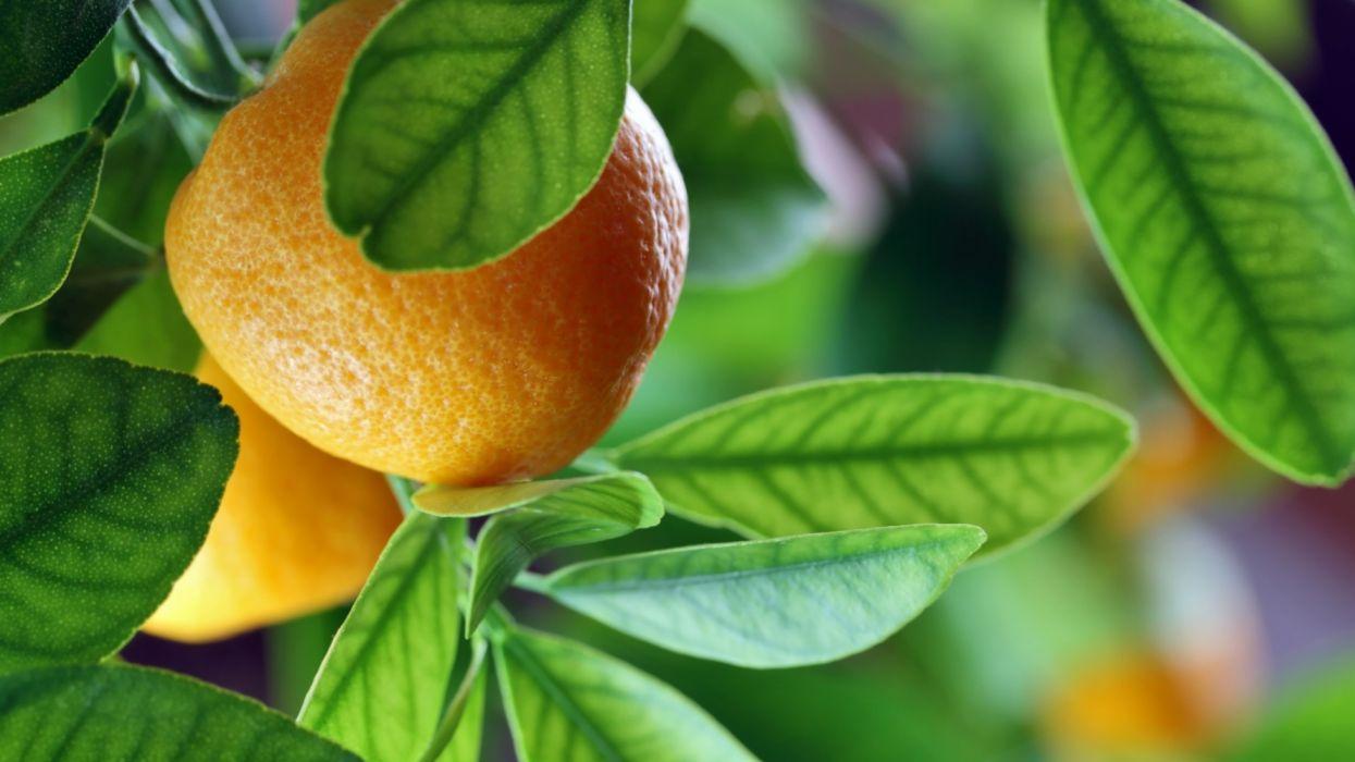 frutas hojas naturaleza naranjas wallpaper