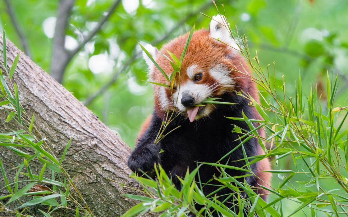 red panda tongue hanging out animal 142639 1440x900 wallpaper