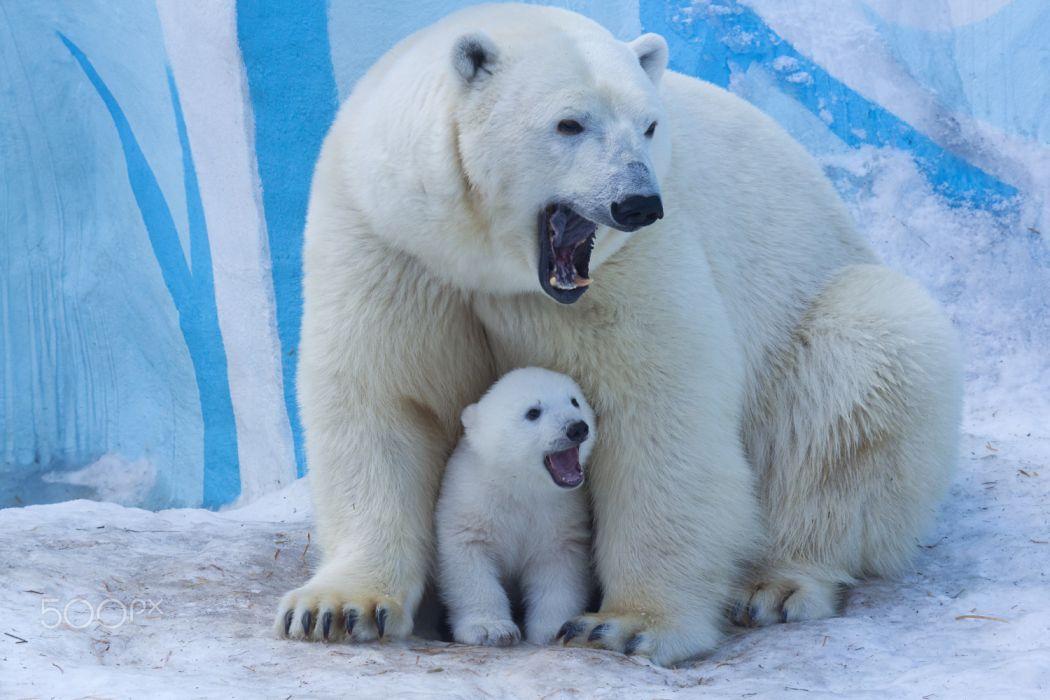 animals winter bears nature snow widescreen wallpaper
