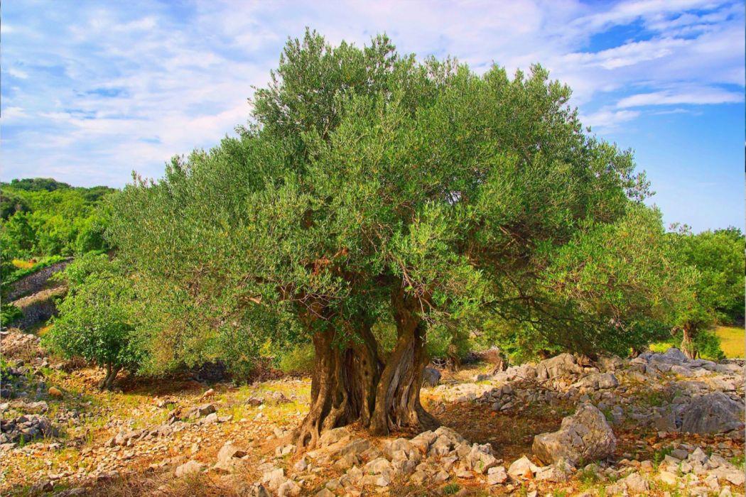 olivo arboles milenario naturaleza wallpaper