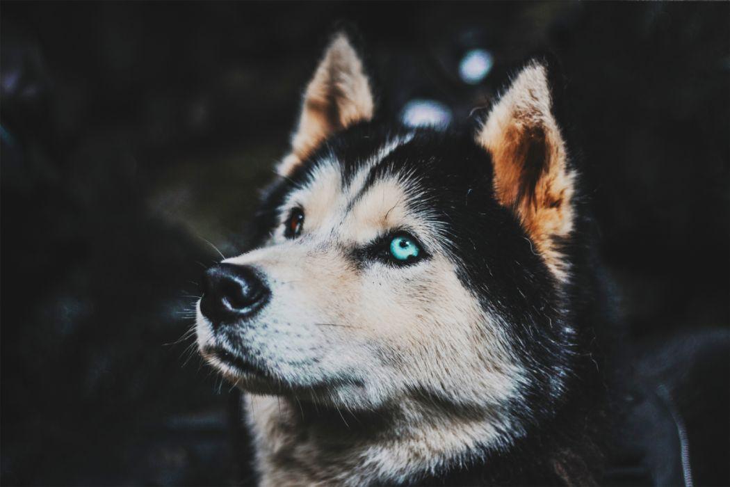 animals cute dogs widescreen blue eyes wallpaper