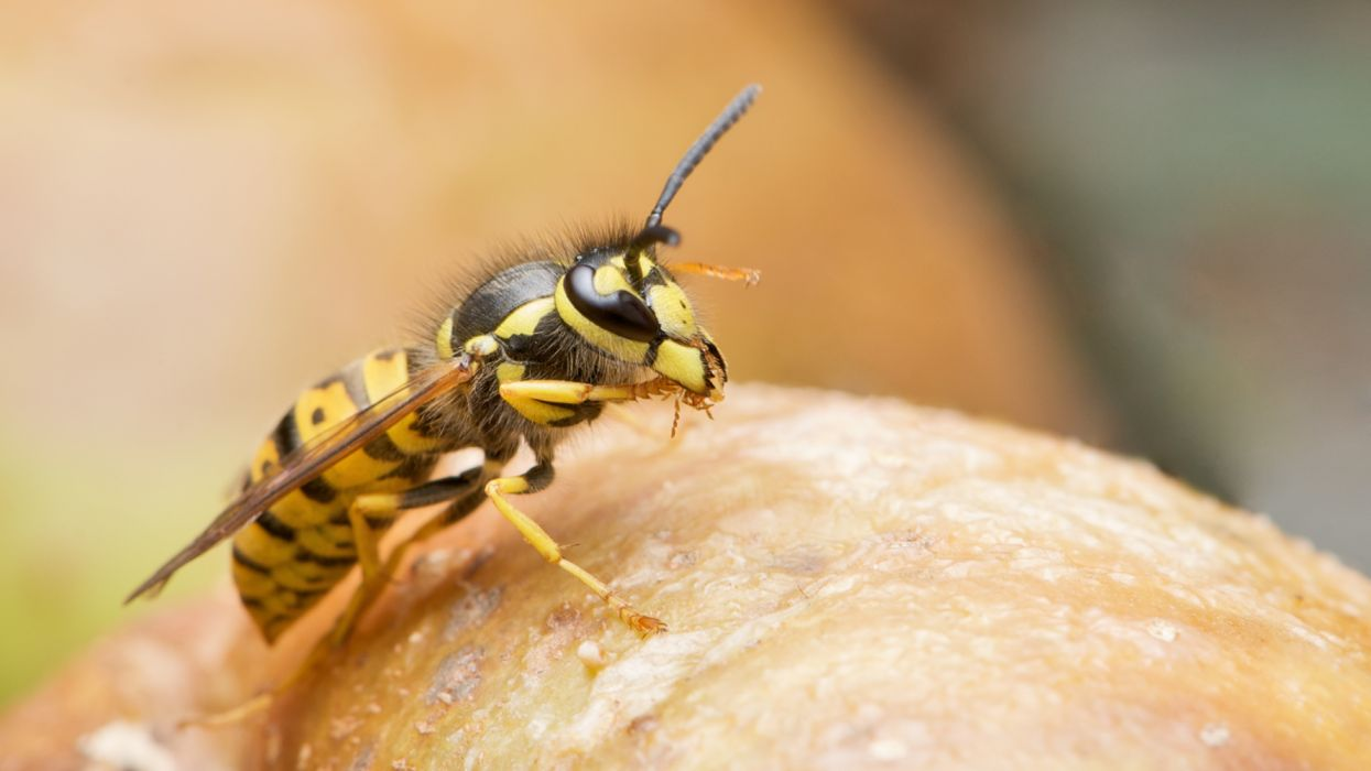 Insects Wasp animals wallpaper
