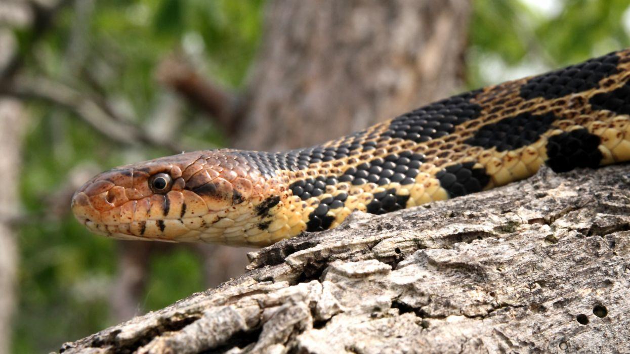 serpiente animales reptiles wallpaper