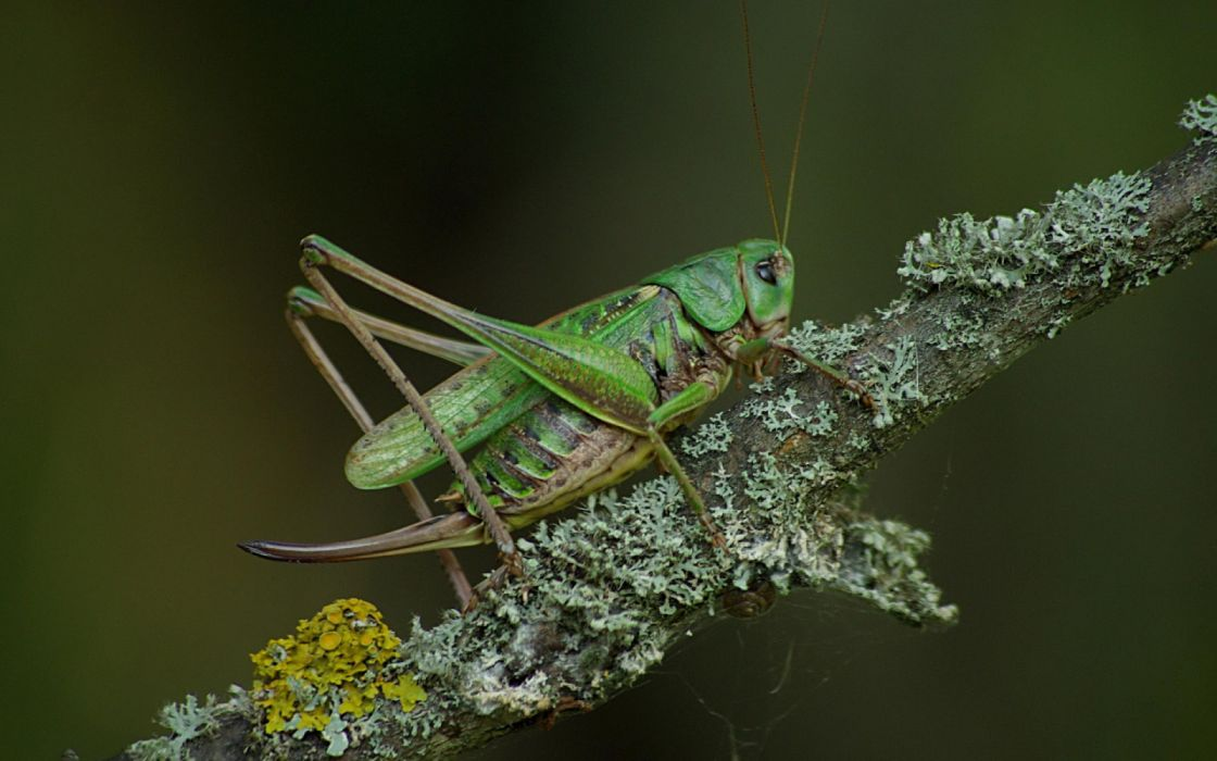 cricket green grasshopper insects animals wallpaper