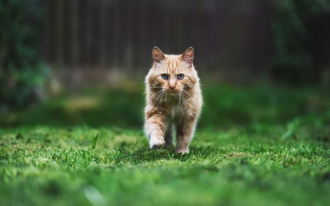 gato solitario camina hierba animales wallpaper