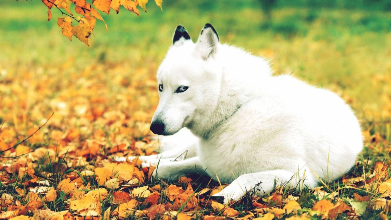 perro blanco bosque acostado animales wallpaper