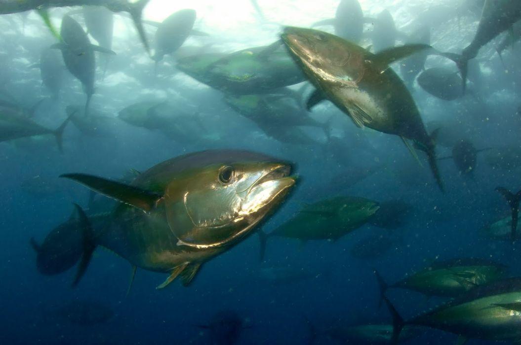 two yellowfin tuna fishes animals wallpaper