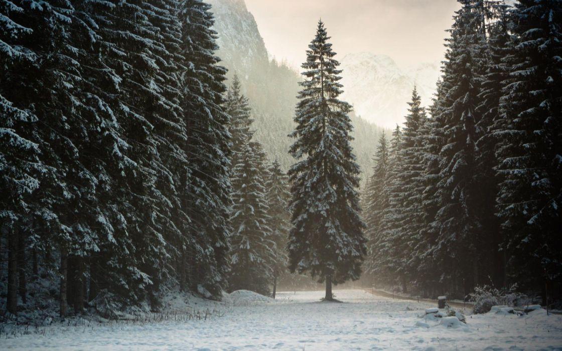 forest alinci snow alpi tyrol nature tree wallpaper