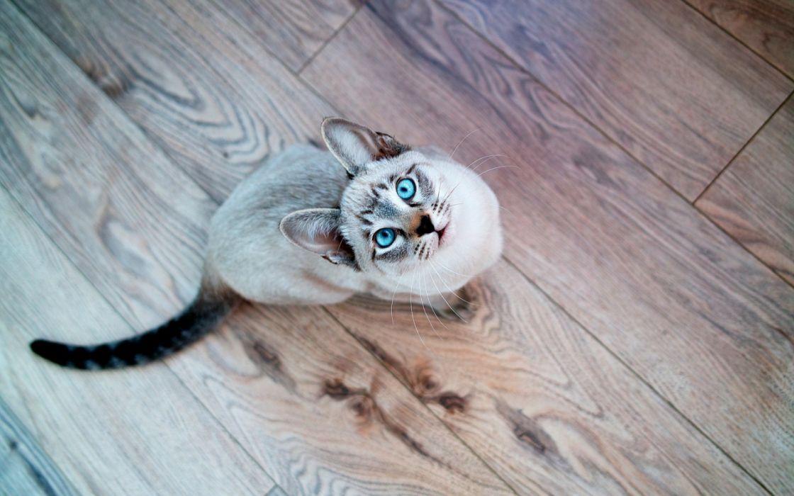 gato ojo azules mirada arriba animales wallpaper