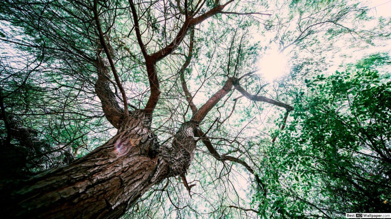 gran arbol bosque milenario naturaleza wallpaper