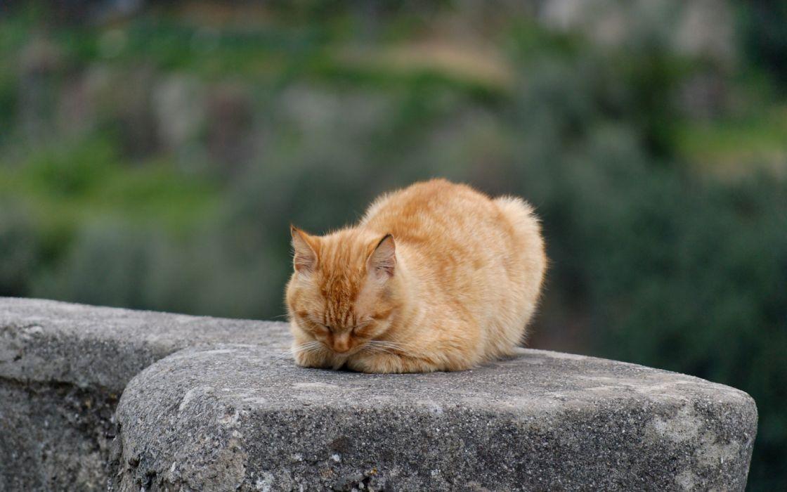 gato rojizo durmiendo piedra animales wallpaper