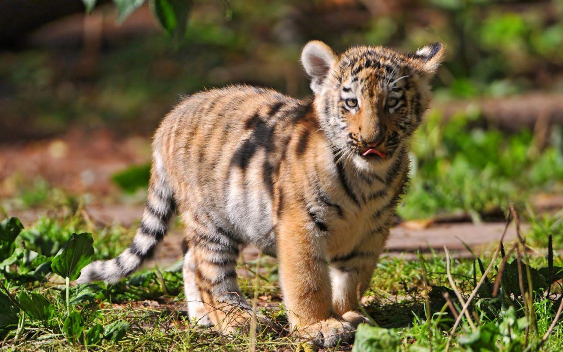 baby tiger animals wallpaper