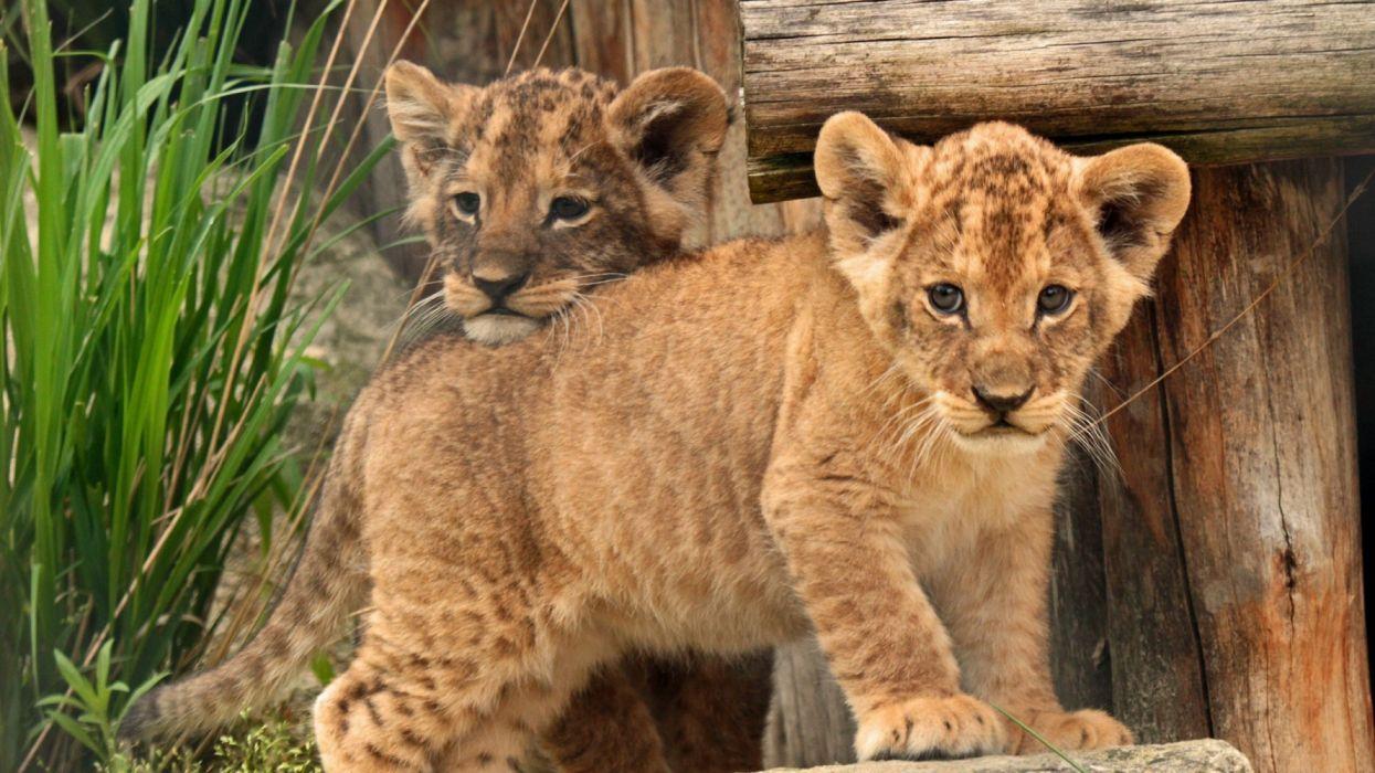 cub baby kids lion animals wallpaper
