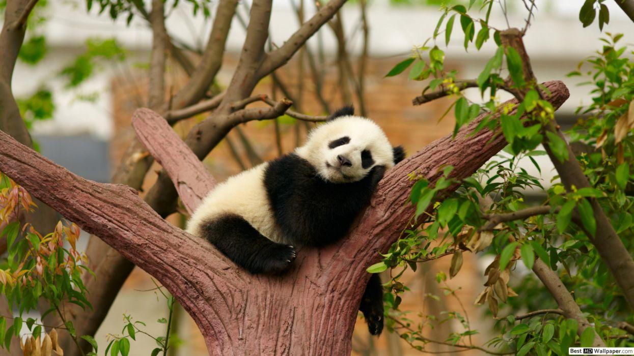 baby oso panda duerme arbol wallpaper