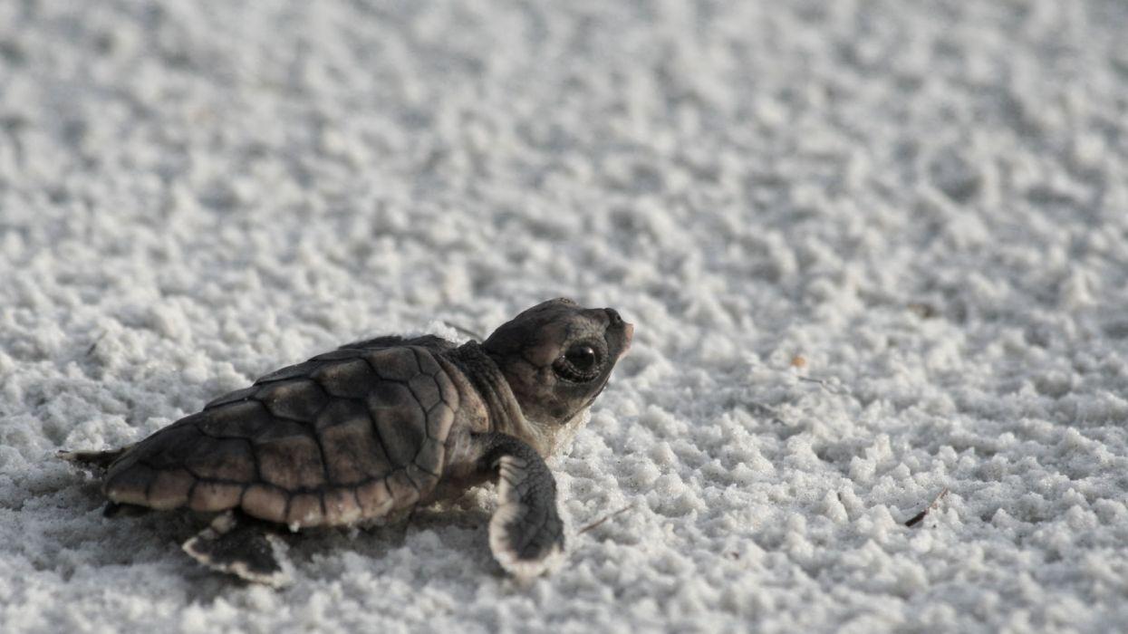 baby tortuga animales reptil wallpaper