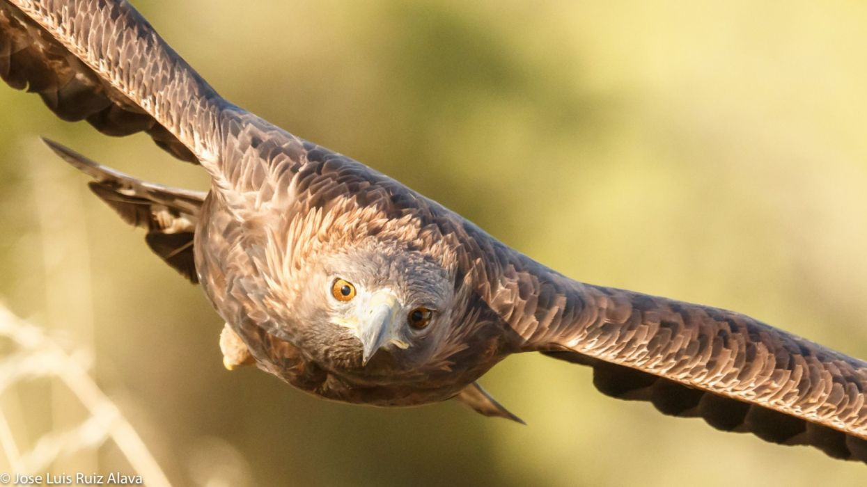 aguila real vuelo ave animales wallpaper