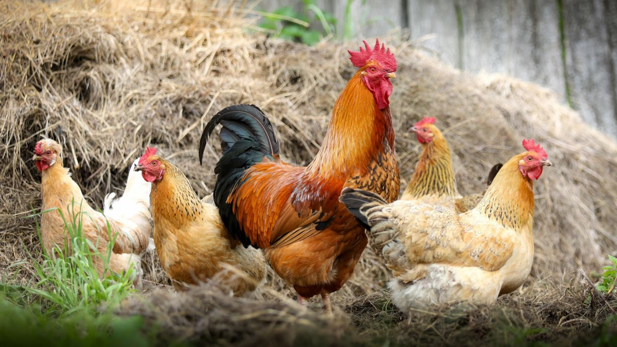 Chicken Rooster birds animals wallpaper